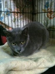 Natalia is an adoptable Russian Blue Cat in Redwood City, CA.