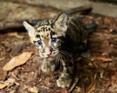 Rare Clouded Leopard born at the Singapore Zoo. Clouded Leopards are among the world's rarest and most secretive wild cat species. Leopard Cub, Clouded Leopard, Baby Leopard, Leopard Animal, Snow Leopard, Baby Animals, Cute Animals, Wild Animals, Smiling Animals