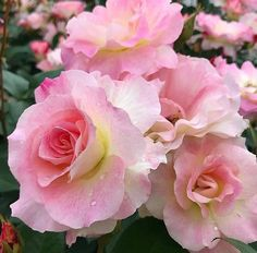Nature's beauties. All Flowers, Pretty Flowers, Colorful Flowers, Growing Roses, Pink Garden, Flower Pictures, Beautiful Roses, Pink Roses, Flower Art