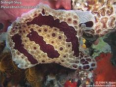 """A montage of night-dive video footage from """"Muka"""", right in front of Two Fish Divers' resort on Bunaken Island.    The video features a snowflake moray, a blackspotted puffer, a stareye parrotfish (Carolines parrotfish), a Chromodoris dianae nudibranch, a Pleurobranchus grandis sidegill slug, a twinspot lionfish (Fu Manchu lionfish), tassled scorpionfish, and many crustaceans including a decorator crab, a sponge crab, a splendid round crab, a blue-spotted hermit crab & a pronghorn spiny lobster."""