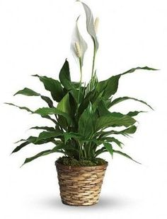 Peace Lily - For filtering air esp. in the bathroom peace-lily. Small Potted Plants, Leafy Plants, Best Indoor Plants, Green Plants, Hanging Plants, Pot Plants, Sympathy Plants, Sympathy Flowers, Father's Day Flowers