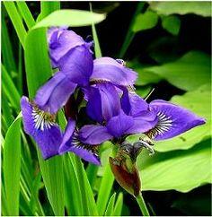 Siberian Iris with pretty grass like foliage