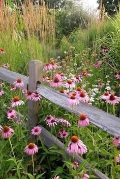 Country Pink with cone flowers and gray picket fence