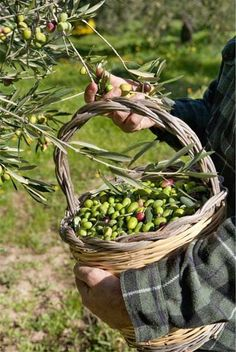 Are you dreaming of Puglia, Italy? Read and see pics of why we have chosen the Italian region of Puglia for a long stay in the heel of Italy. Olives, Olive Harvest, Mediterranean Garden, Olive Gardens, Garden Trees, Olive Tree, Farm Life, Fruits And Vegetables, Provence