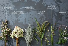snowberry, blushing bride protea, artemisia, foxtail millet, northern sea oats, jasmine