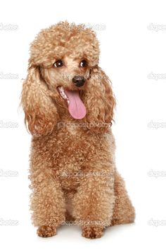 Apricot poodle puppy - Stock Image: 2762655