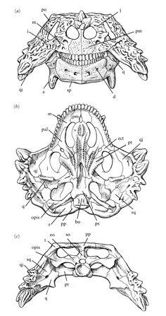 The skull of Scutosaurus.
