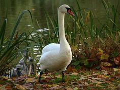 Schwan, Vogel, Tier, See, Wasser