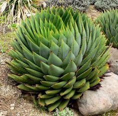 African Spiral Aloe Seeds - Aloe Polyphylla - RARE Succulent  http://www.ebay.com/itm/251154739006?hlp=false=