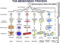Mesenchymal Stem Cells: Time to Change the Name! - Caplan - 2017 - STEM CELLS Translational Medicine - Wiley Online Library Translational Medicine, Anterior Cruciate Ligament, Rotator Cuff Tear, Tissue Engineering, Acl Tear, Adipose Tissue, Bone And Joint, Anatomy And Physiology, Stem Cells
