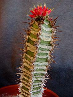 "Euphorbia neohumbertii ""Blue Form"" I want this kind!"