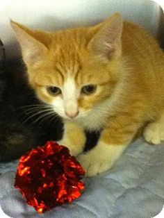 Meet Jackson a female Kitten for Adoption at East Lake Pet Orphanage (ELPO).