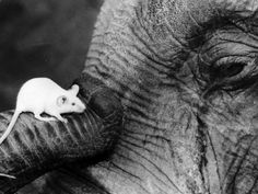 elephant and mouse All About Elephants, Elephants Never Forget, Elephant Trunk, Elephant Love, African Grey Parrot, Cat Sitting, Pictures To Paint, Large Art, Polar Bear