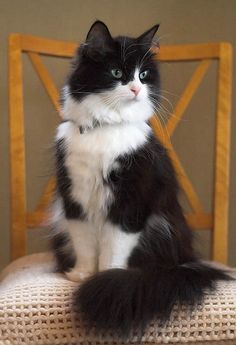 Tuxedo Maine Coone cat with collar and blue-green eyes sitting on chair --- dearestwhiskers.com | subscription box | curated for cats