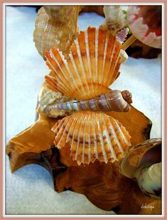 Sea Shell Butterfly