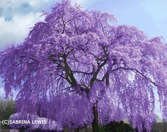Lilac tree... Absolutely gorgeous! I would love to have one of these in my yard!