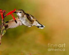 Feeding Anna's Hummingbird: See more images at http://robert-bales.artistwebsites.com/