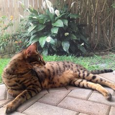 #vashithesavannah #savannahcat #cat #pet #animal #animallovers #gato #exoticcat #bigboy #relaxing #lazyday #lazyboy #caturday #topcatphoto #bestpic #igcats #igdaily #handsome #outdoors #flowers by vashithesavannah http://www.australiaunwrapped.com/