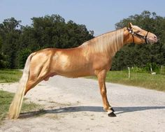 Gold Champagne Tennessee Walker horse parked out. Notice the pink skin and metallic shine.
