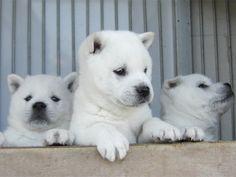 平成23年度2月13日撮影 紀州犬ファイル1 Japanese Dog Breeds, Japanese Dogs, Cute Puppies, Dogs And Puppies, Animals And Pets, Cute Animals, Amazing Dogs, White Dogs, Cute Animal Pictures