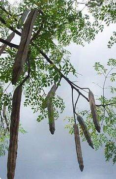 MORINGA !!THE MIRACLE TREE !!! | sheronfenty
