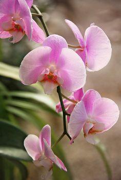 orquidea light