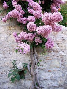 Enrijecidas na parede, confiantes em uma parede dura e fria, mas a confiança fez crescer belas flores