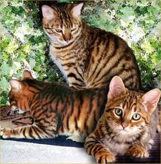 "The toyger is a breed of cat, the result of breeding domestic shorthaired tabbies  to make them resemble a ""toy tiger"", as its striped coat is reminiscent of the tiger's. The breed's creator, Judy Sudgen, has stated that the breed was developed in order to inspire people to care about the conservation of tigers in the wild."