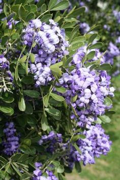 Mr. Smarty Plants answers questions about mountain laurel, purple passionflower, gall wasps and name that tree