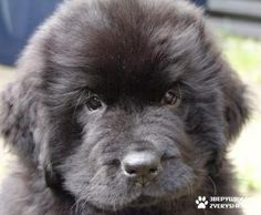 Newfoundland puppy! too cute! stolen from other pinner