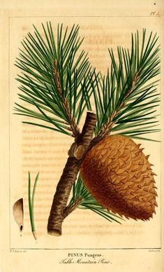 Pinus pungens. Histoire des arbres forestiers de l'Amérique septentrionale v.1 Paris,L. Haussmann,1812-13. Biodiversitylibrary. Biodivlibrary. BHL. Biodiversity Heritage Library