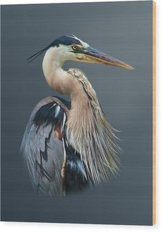 Bird Pictures, Pictures To Paint, Scratchboard Art, Color Pencil Art, China Painting, Bird Drawings, Blue Heron, Sea Birds, Wildlife Art