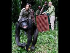 Jane helps release Wounda back into the wild and receives a hug. Video from the Jane Goodall Institute.