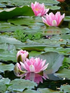 Pink waterlilies in the pond at Giverny, France. Garden by Claude Monet. I love Monet!