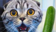 NÃO ASSUSTE SEU GATO COM PEPINOS - Veja aqui porque... Reportagem e vídeo: http://miadosnaweb.blogspot.com.br/2016/06/nao-assuste-seu-gato-com-pepinos-veja.html