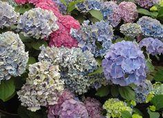 Lembro de ver hortênsias pelos jardins de minha vida desde que era muito pequena. Dona Sogra tem lindas hortênsias repletas de buquês rosas. Mamãe sempre teve lindas hortênsias azuis que davam buqu…