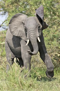 Elephant running (via / the chase by David Hobcote) Elephants Never Forget, Save The Elephants, Baby Elephants, Indian Elephant, Elephant Love, Happy Elephant, Wild Elephant, Elephant Photography, Animal Photography