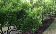 "Contest Entry from Robert F. via #Facebook - Wax Myrtles: ""A wax myrtle forrest"" #CompassPointeNC #Gardening"
