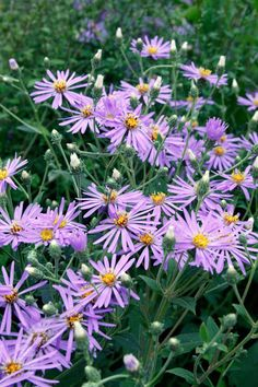 Aster × herveyi aster (syn. Aster macrophyllus 'Twilight'). Including dry shade. Piet Oudolf top100.