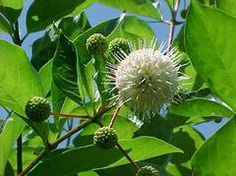 Buttonbush. Likes moist to wet soil. Grows 5-12ft tall (more upright). Great winter interest.