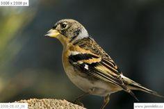 pěnkava jikavec / Fringilla montifringilla Bird, Animals, Finches, Animales, Animaux, Animais, Birds, Animal