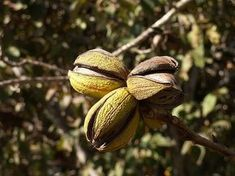 Pecan trees are native to the U.S. in Southern locations with a long growing season. Just one tree will produce plenty of nuts for a large family. Read this article to learn how to plant a pecan tree.