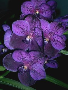 Nature makes the best purple ever. Vanda Orchids, Purple Orchids, Purple Lilac, Purple Flowers, Magenta, Big Flowers, Exotic Flowers, Beautiful Flowers, Orchid Plants