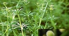 Κολλιτσίδα ένα ισχυρότατο αντικαρκινικό, διουρητικό και αποτοξινωτικό βότανο. Eνα από τα 10 ισχυρότερα βότανα στον κόσμο. Η κολλιτσίδα εί... Alternative Therapies, Holistic Medicine, Natural Remedies, Herbalism, Detox, Essential Oils, Health Fitness, Healthy, Nature