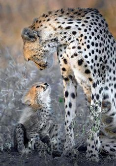 Cheetah mom and cub, a picture worth a thousand words. Even the most dangerous predators can be tender and nurturing to their young.