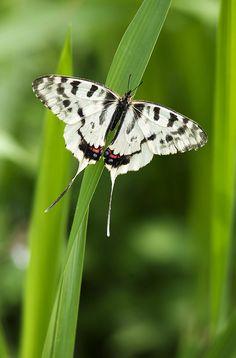 Sericinus montela. Dragon Swallowtail