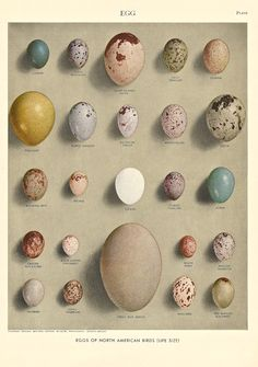 1946 Illustration of Bird's Eggs found in the 1946 edition of the Encyclopedia Britannica from an Ephemera Grab Bag on Birds.