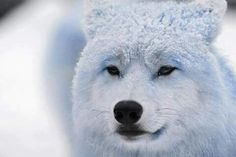 Frosted wolf