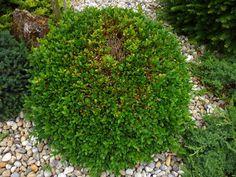 Usychanie krušpánu: Čo pomôže?   Záhrada.sk Plants