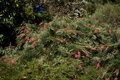 Grevillea 'Billy Bonkers' Grafted